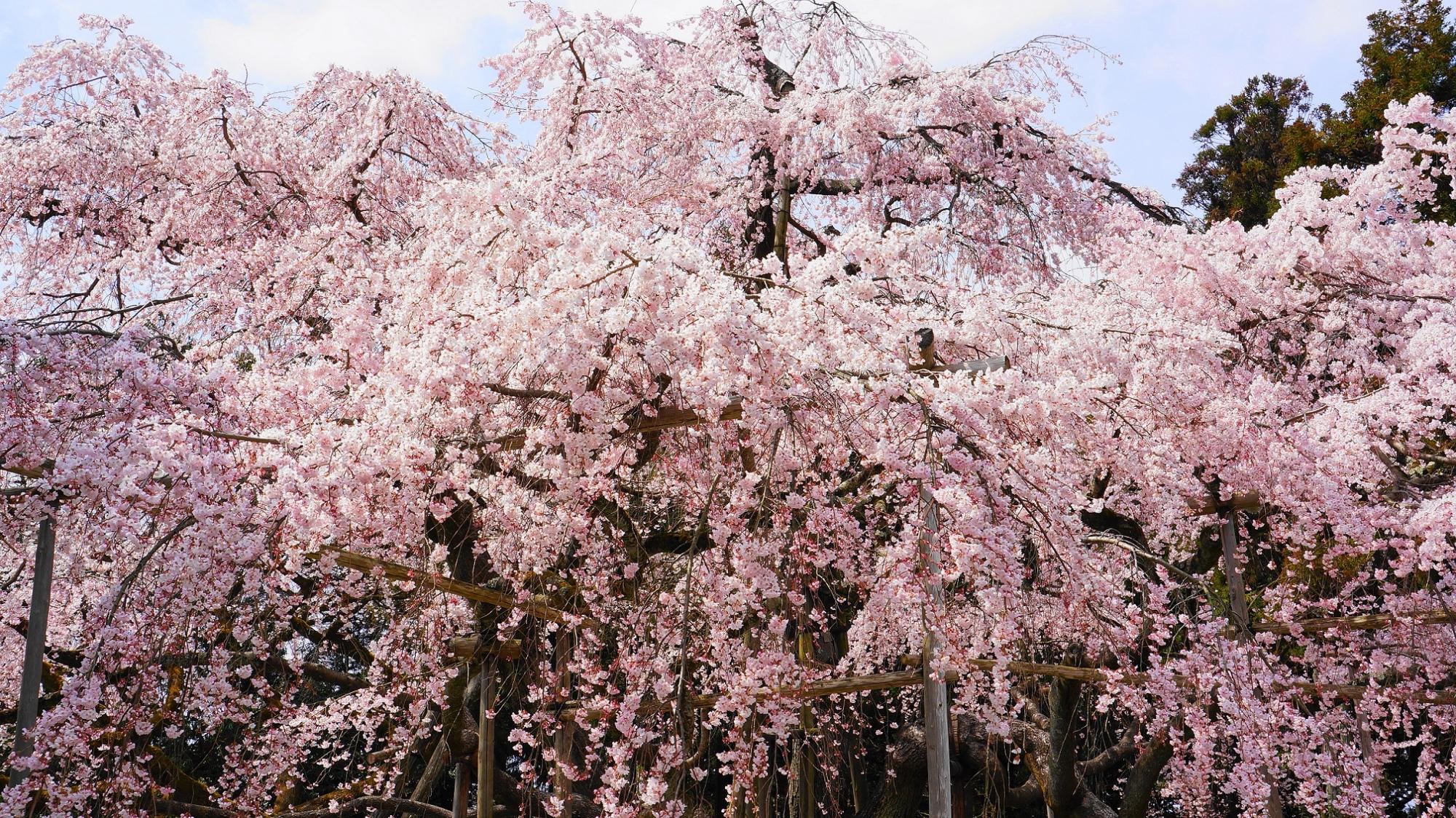 桜の名所の醍醐寺の三宝院の満開の見事な太閤しだれ桜