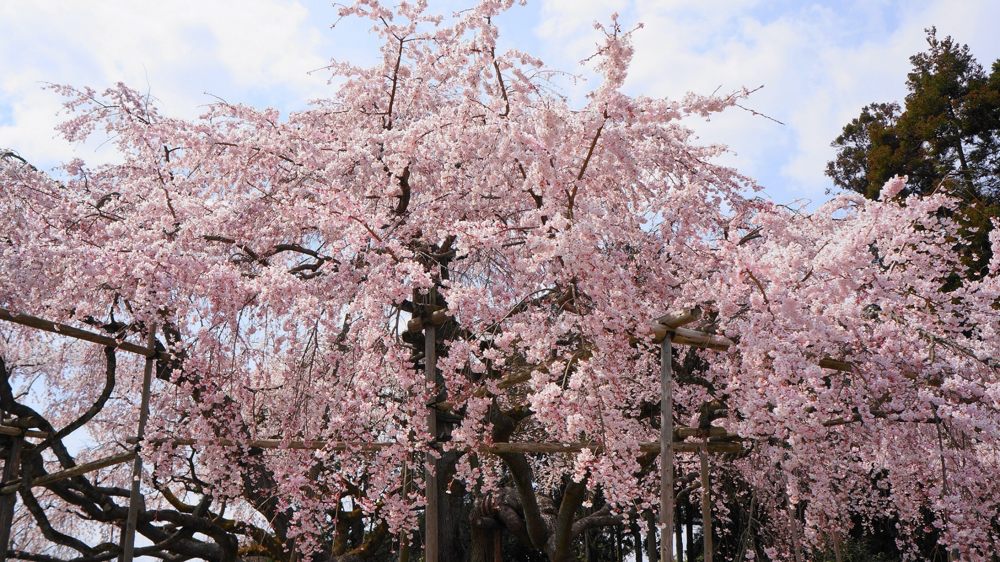 醍醐の花見で有名な桜の名所の醍醐寺の三宝院の満開の太閤しだれ桜