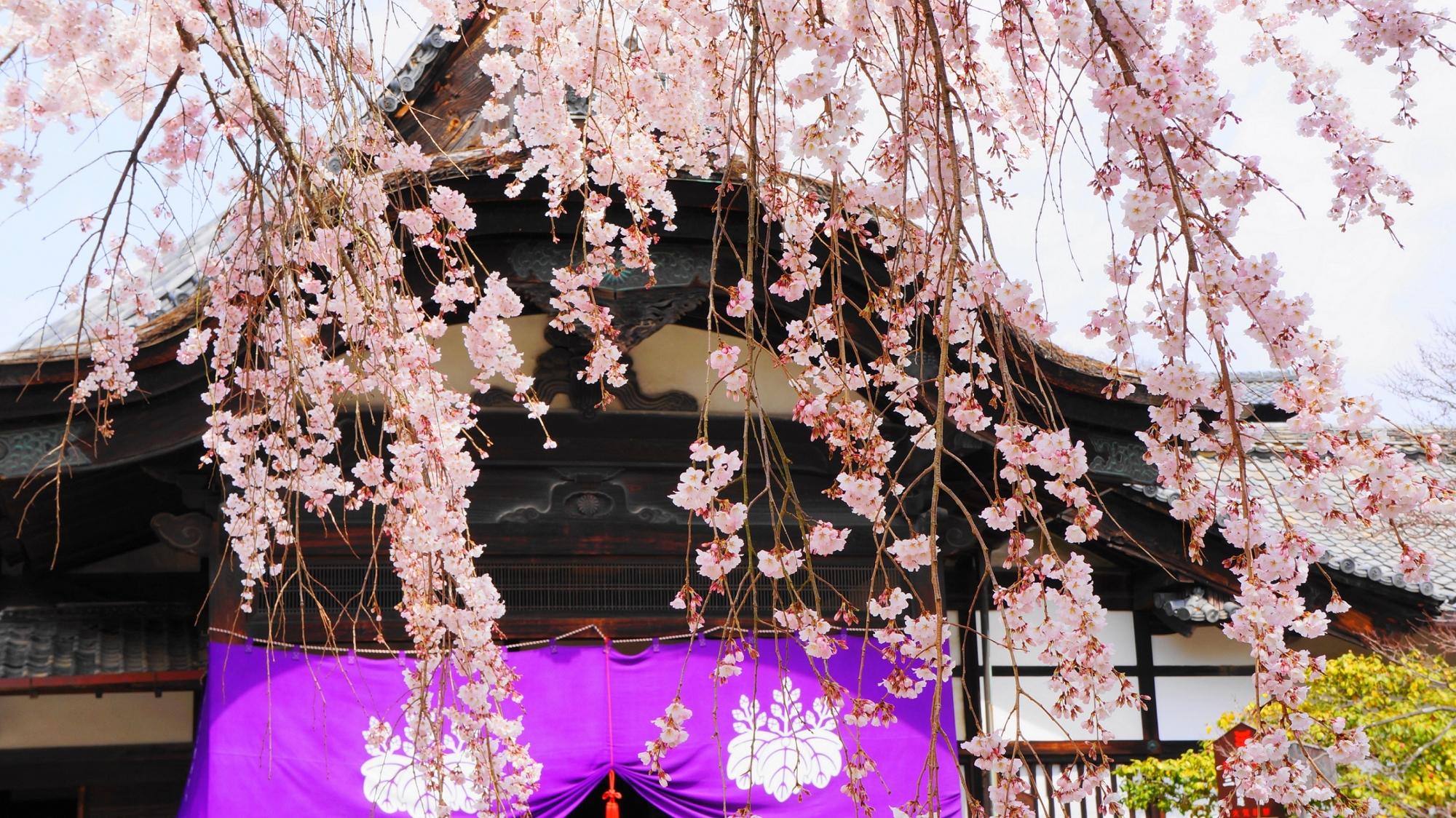 醍醐寺三宝院のその名の通りの素晴らしい太閤しだれ桜と大玄関