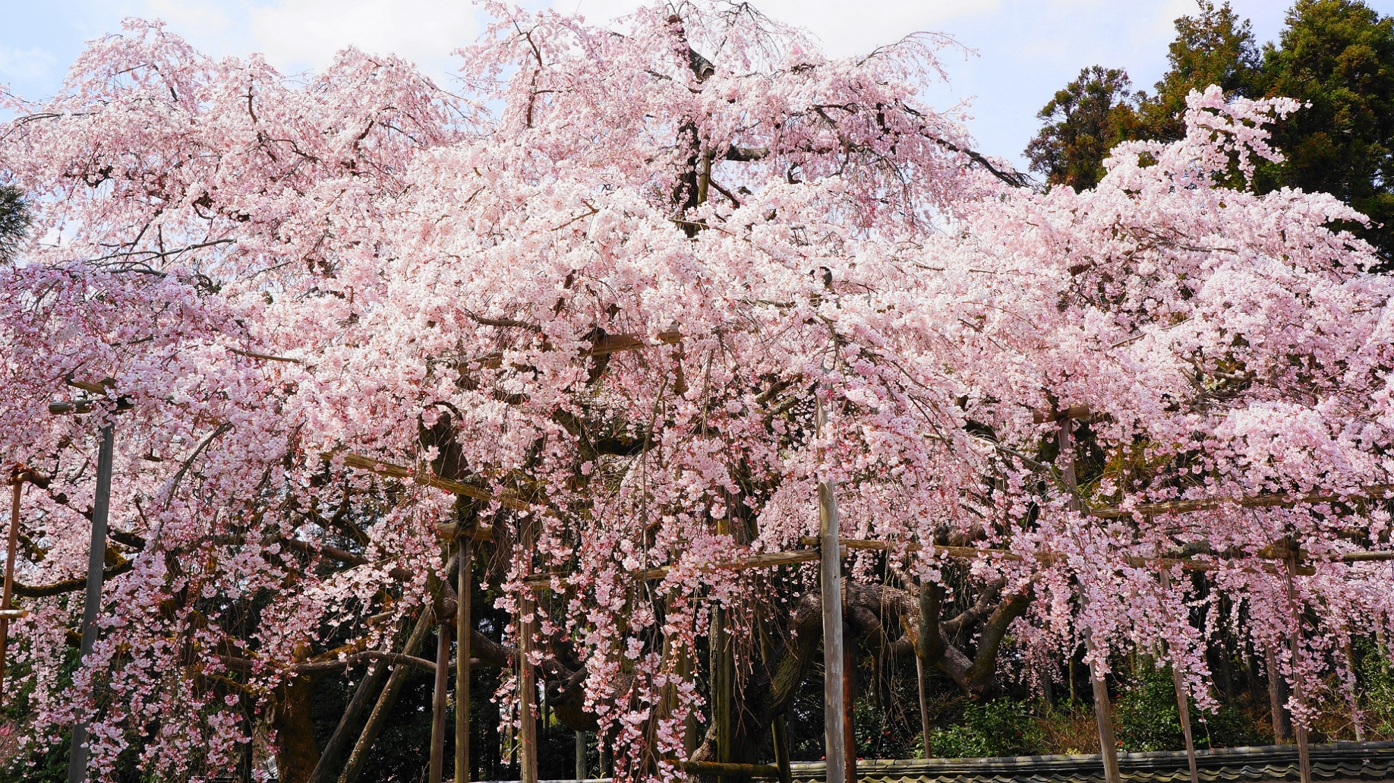 秀吉の花見で有名な醍醐寺の三宝院の満開の迫力の太閤しだれ桜