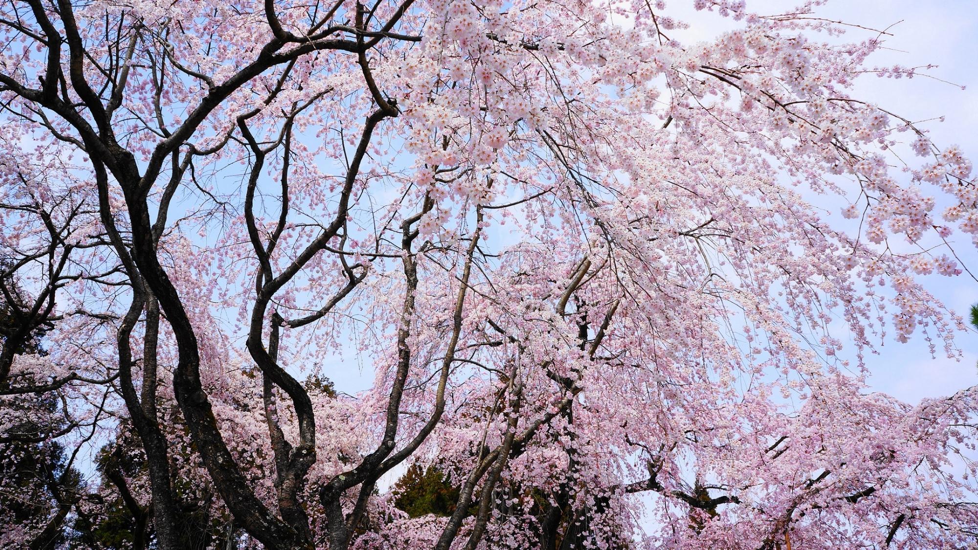 世界遺産の醍醐寺の三宝院の満開の豪快な太閤しだれ桜