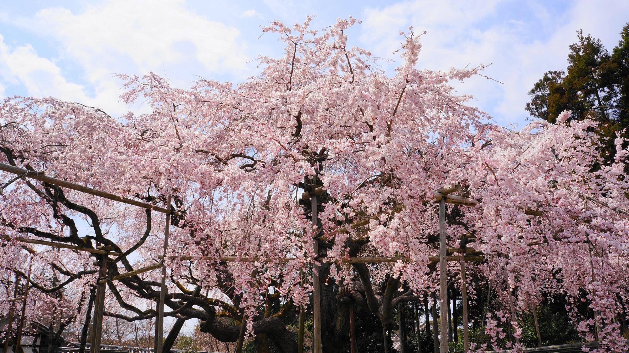 醍醐寺 三宝院 太閤しだれ桜 満開 春