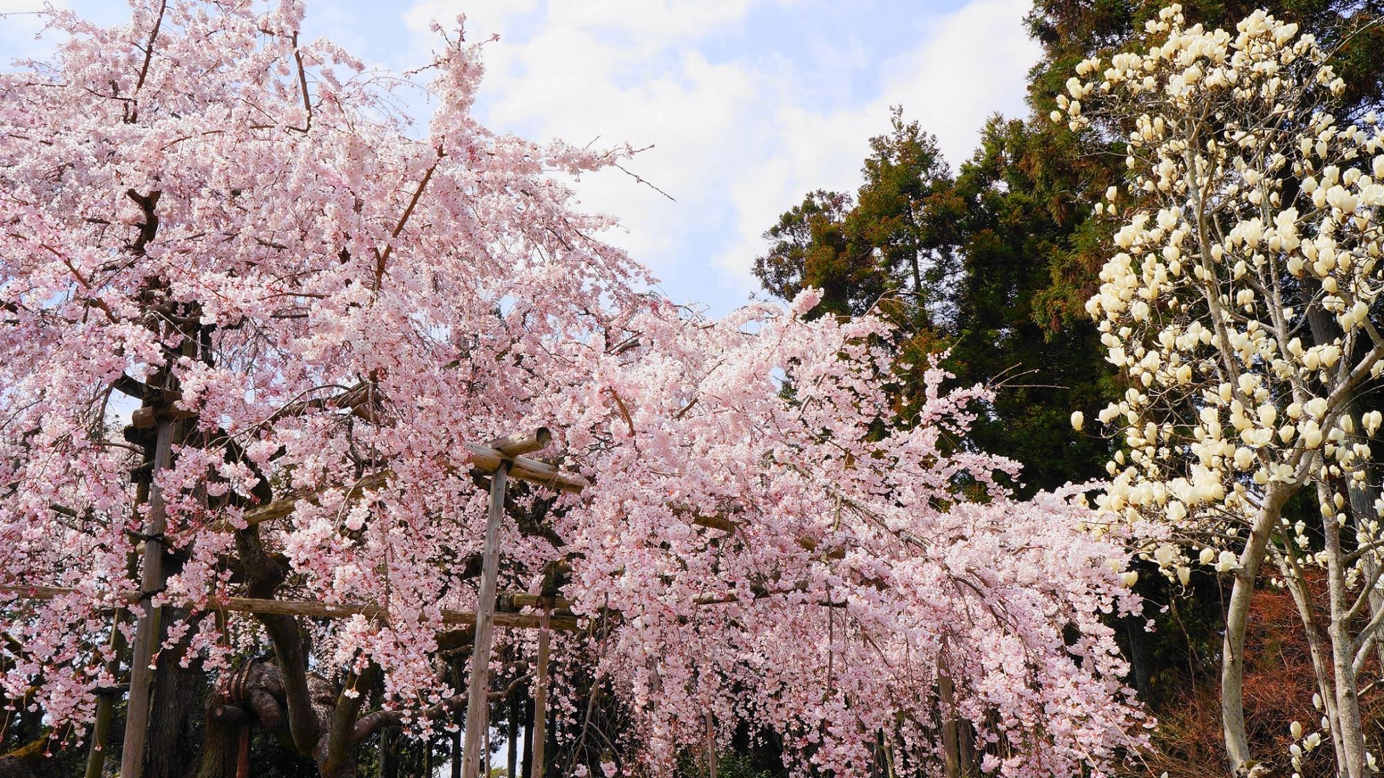 桜の名所の醍醐寺の三宝院の満開の華やかな太閤しだれ桜