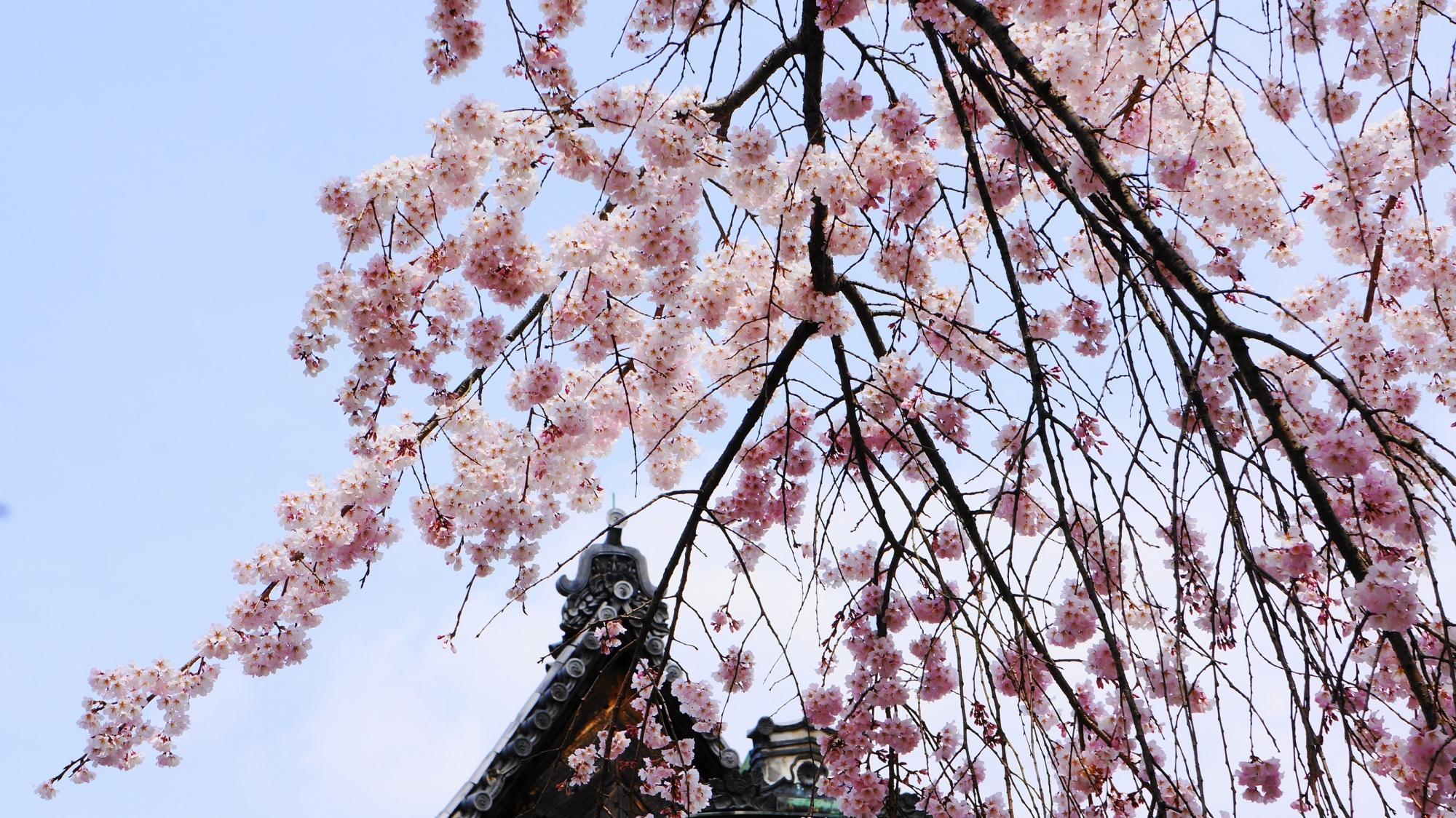 三宝院 太閤しだれ桜 満開 醍醐寺 春