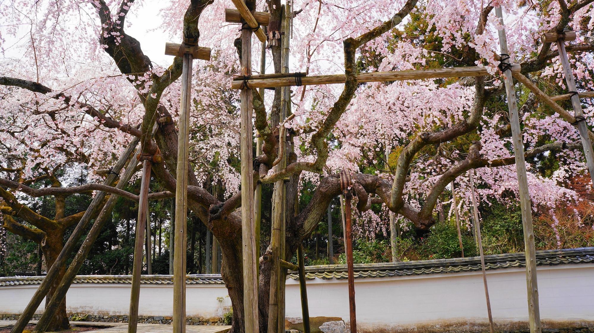 醍醐寺の三宝院の満開の大きな太閤しだれ桜