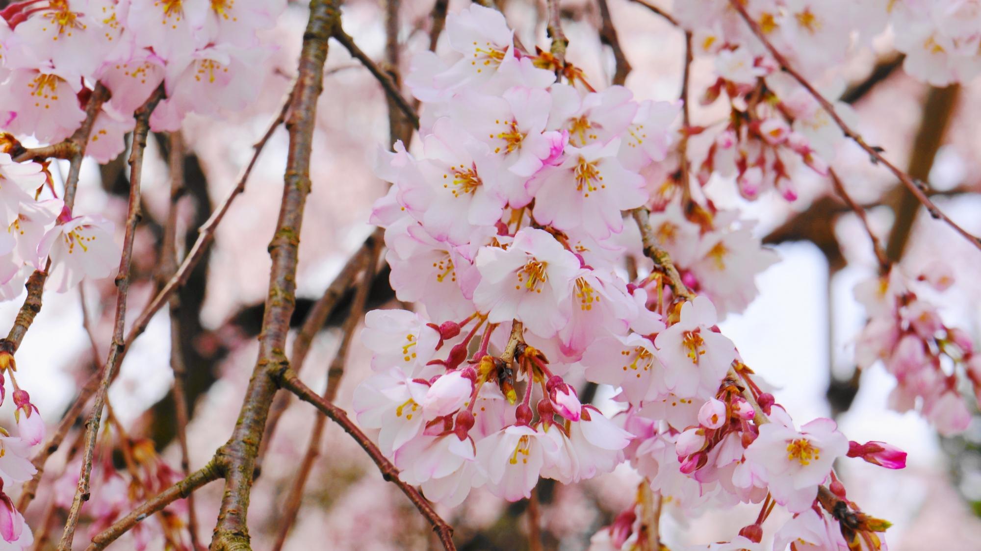 太閤しだれ桜 満開 三宝院 醍醐寺