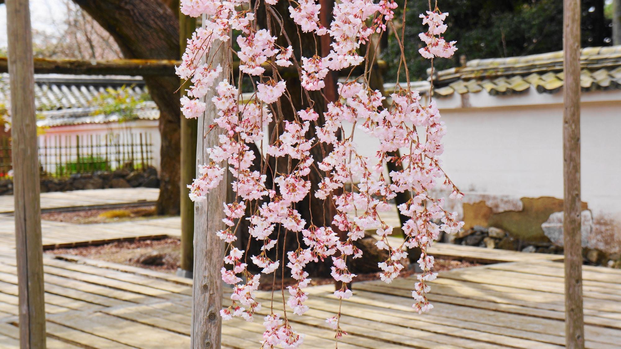 Kyoto Daigo-ji Temple Sanpo-in Taiko-Shidare-Zakura weeping cherry tree spring
