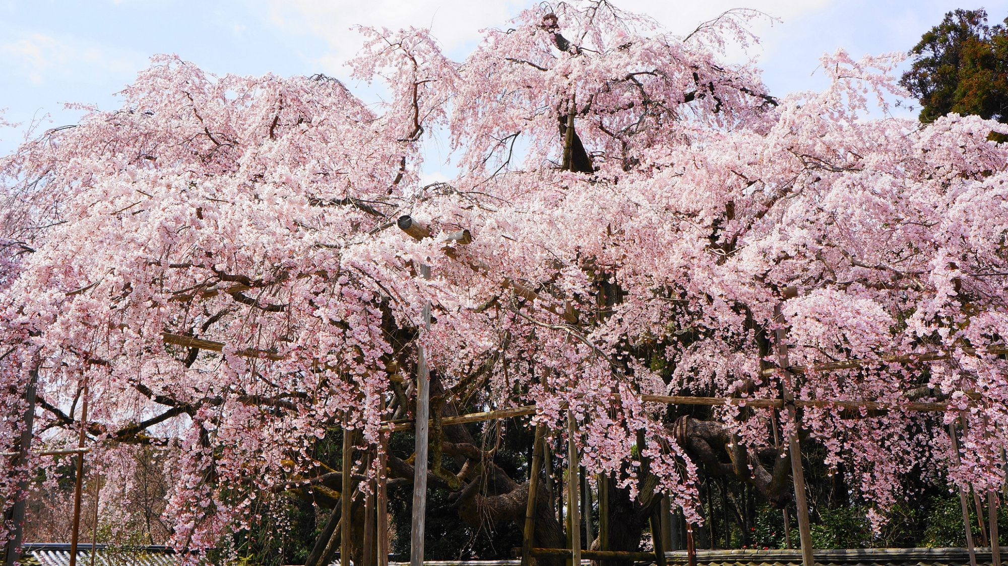 三宝院 太閤しだれ桜 満開 豪快 醍醐寺 世界遺産 春