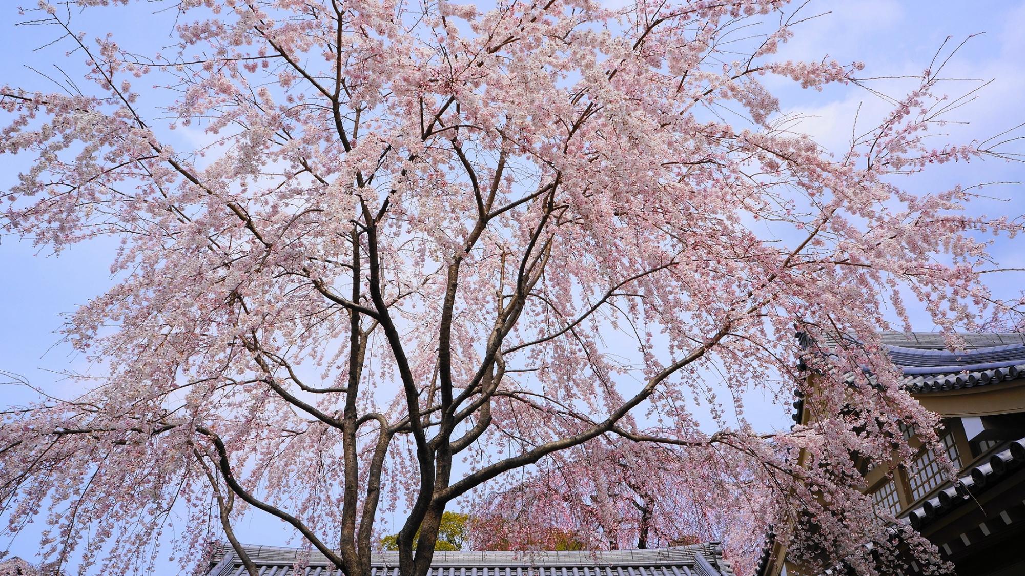 醍醐寺 霊宝館 桜 満開