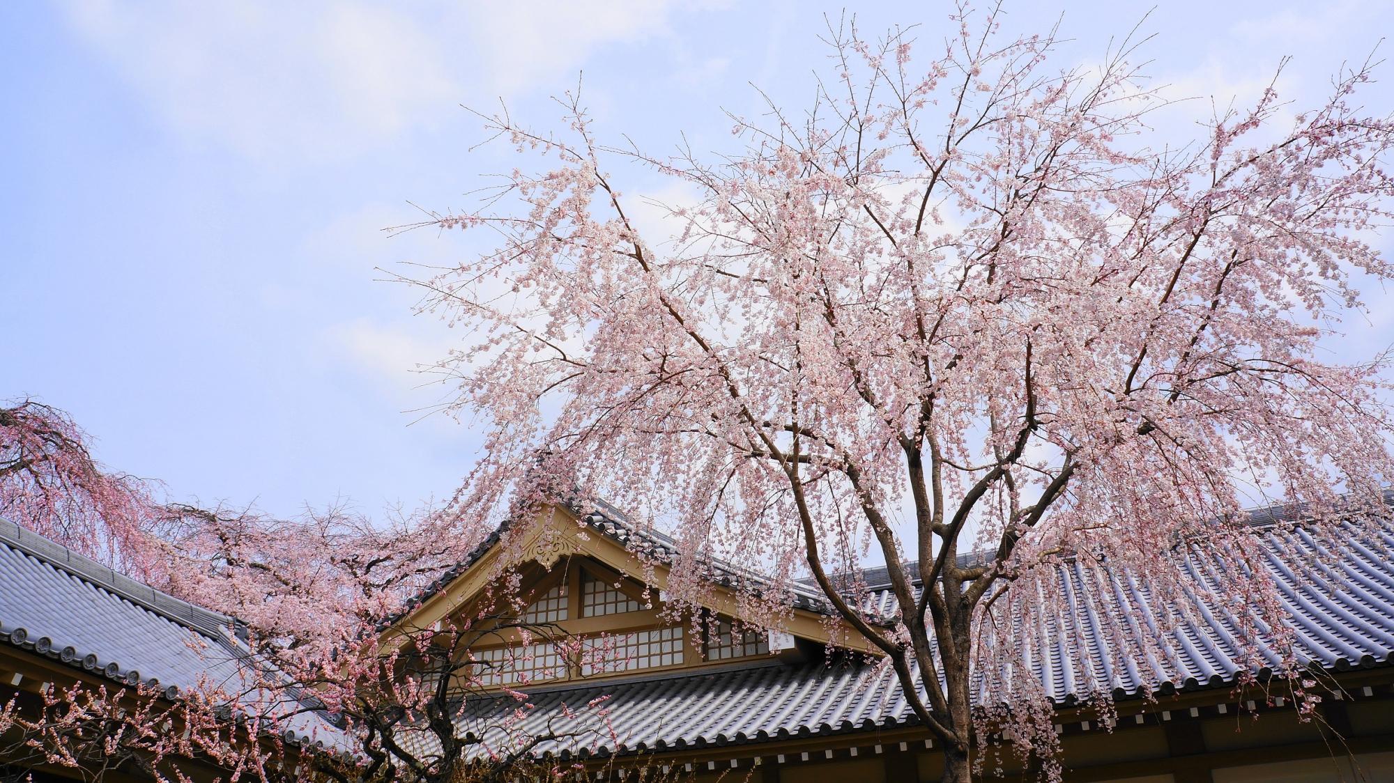 霊宝館 桜 満開 醍醐寺 春