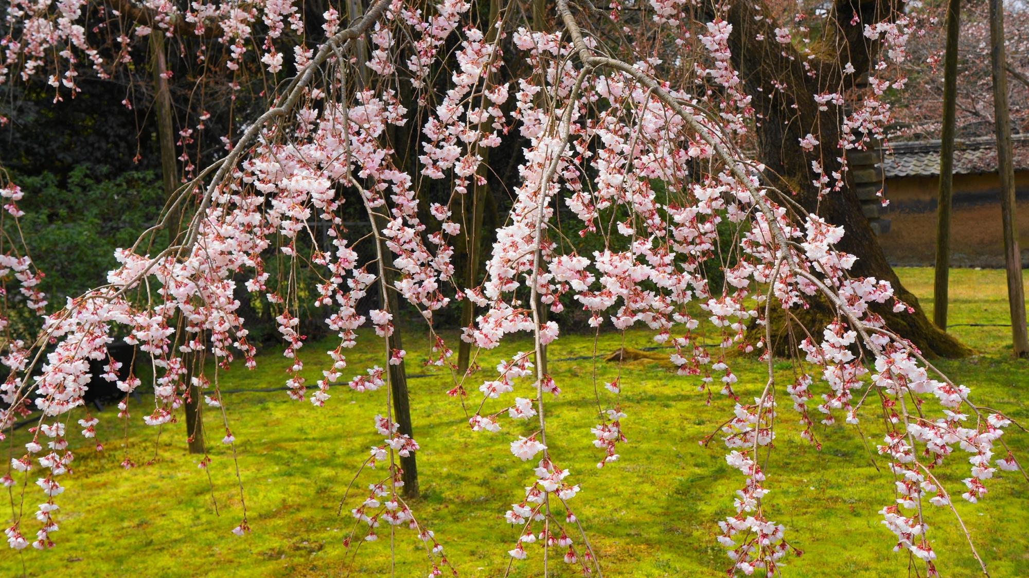 秀吉の醍醐の花見で有名な醍醐寺の霊宝館の見事な枝垂れ桜