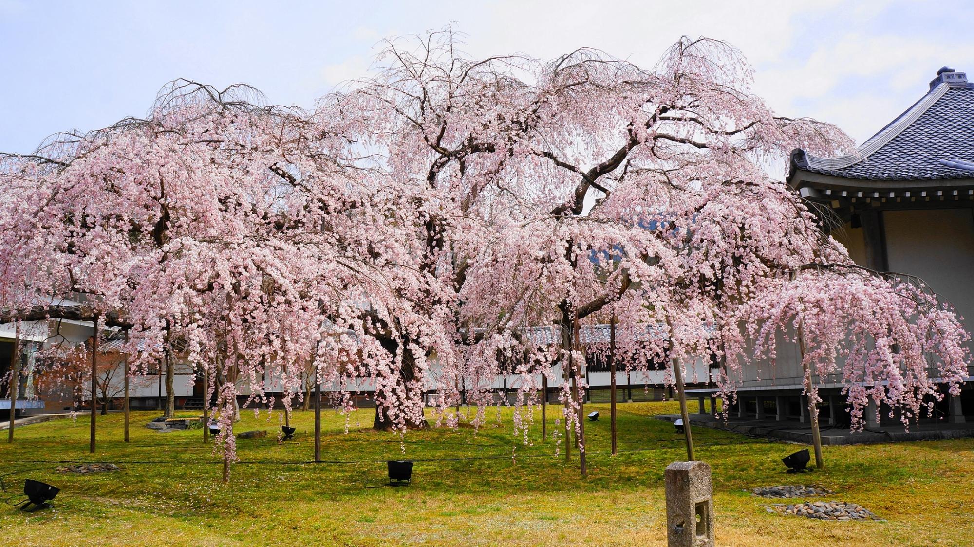 桜の名所の醍醐寺の霊宝館の満開の醍醐深雪桜(みゆき桜)