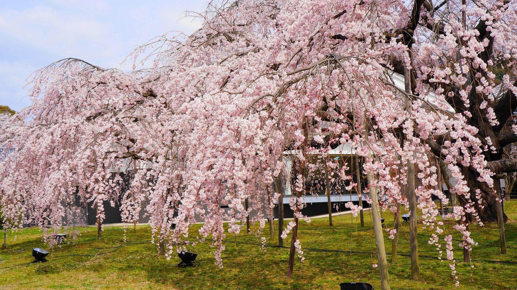 Kyoto Daigoji-Temple Reihokan Daigo-Miyuki-Sakra cherry blossoms spring だいごみゆき桜 満開 霊宝館 春