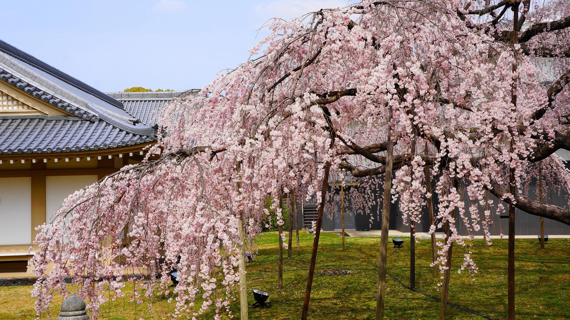 だいごみゆき桜 満開 霊宝館 醍醐寺 春