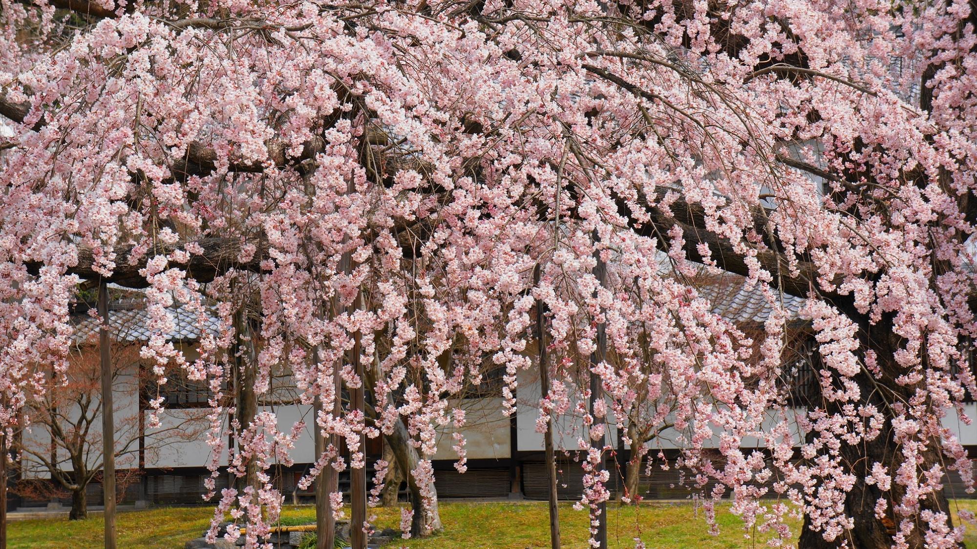 Daigo-Miyuki-Zakura weeping cherry tree Daigo-ji Temple Reiho-kan spring