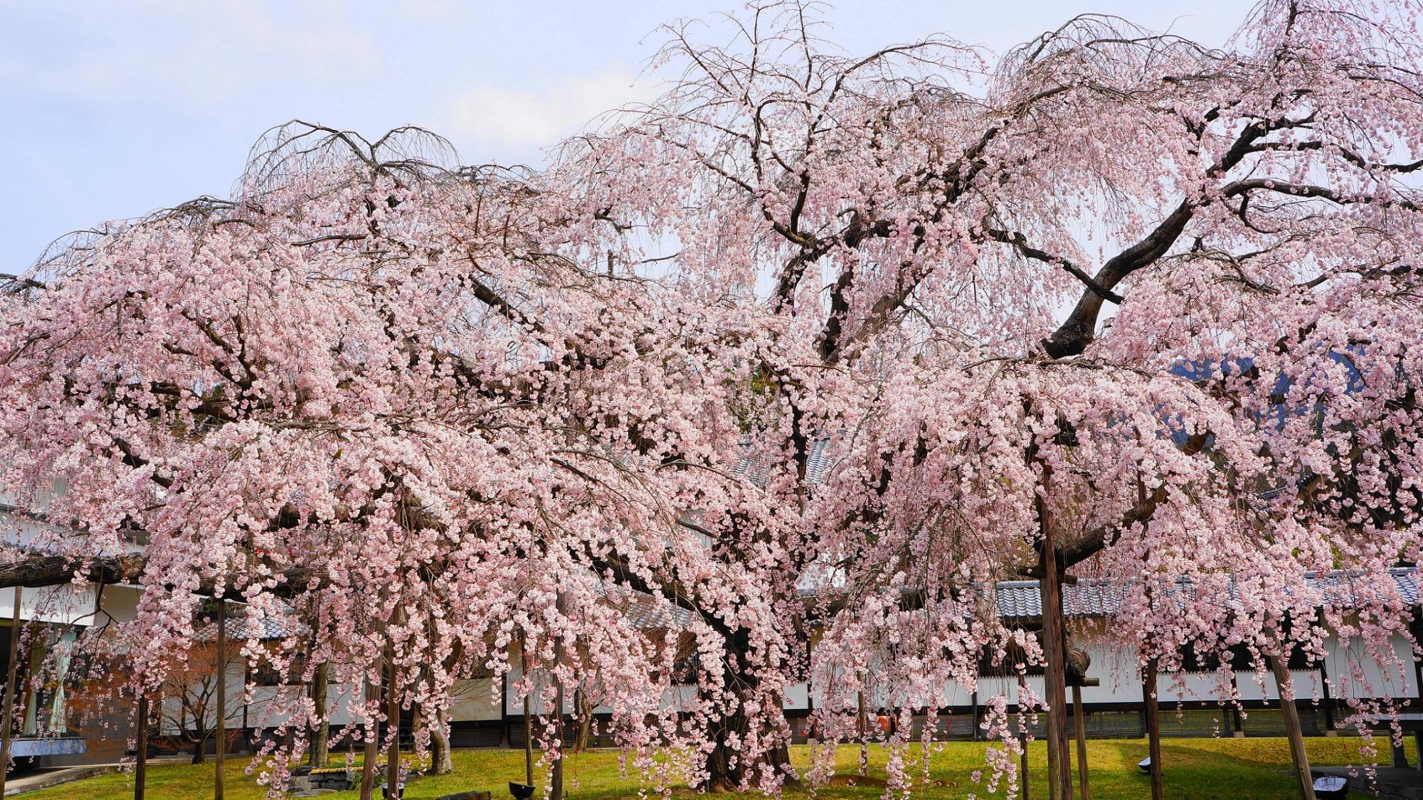 秀吉の醍醐の花見で有名な醍醐寺の霊宝館の満開の迫力の醍醐深雪桜(みゆき桜)