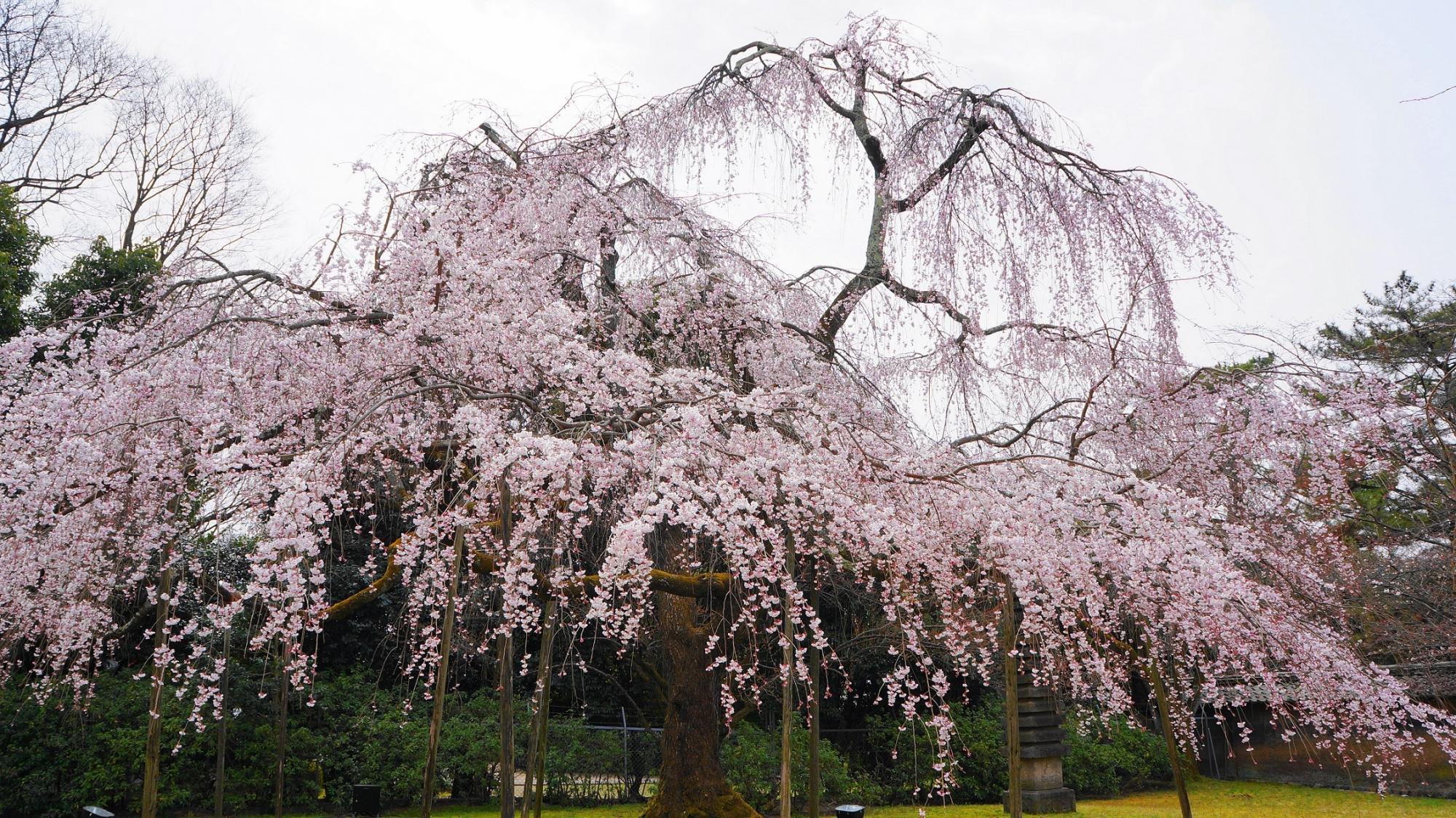 れいほうかん 桜 満開 だいごじ