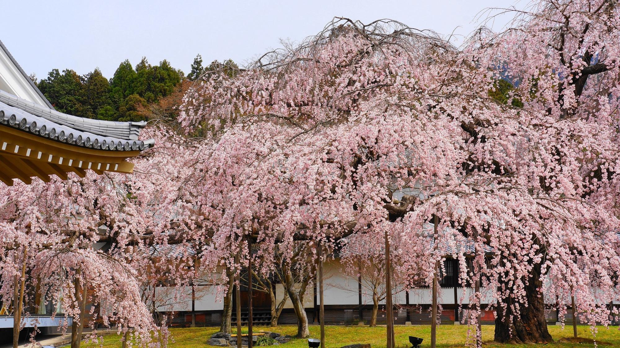 秀吉の花見で有名な醍醐寺の霊宝館の満開の醍醐深雪桜