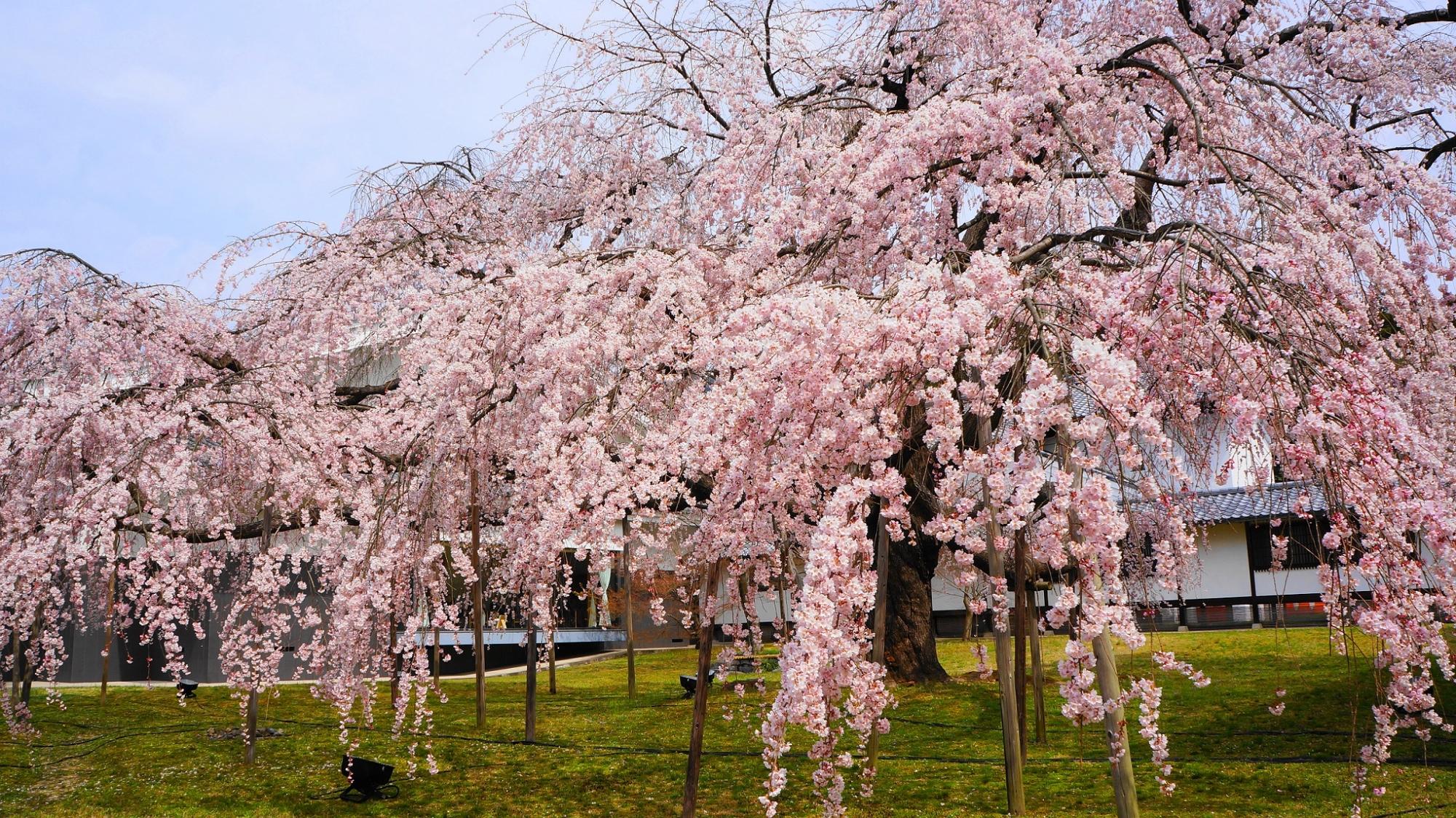 桜の名所の醍醐寺の霊宝館の満開の華やかな醍醐深雪桜(みゆき桜)