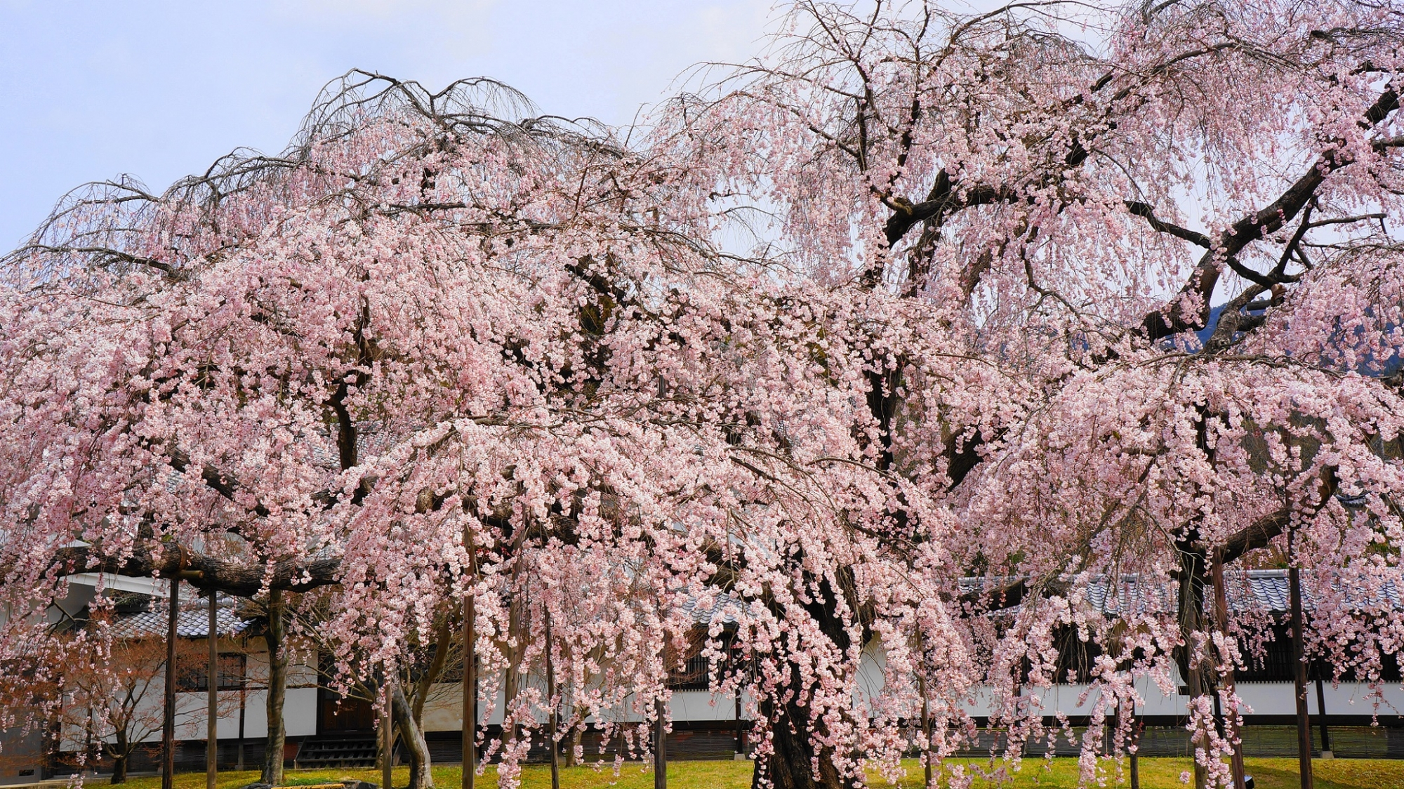 醍醐の花見で有名な醍醐寺の霊宝館の満開のだいごみゆき桜