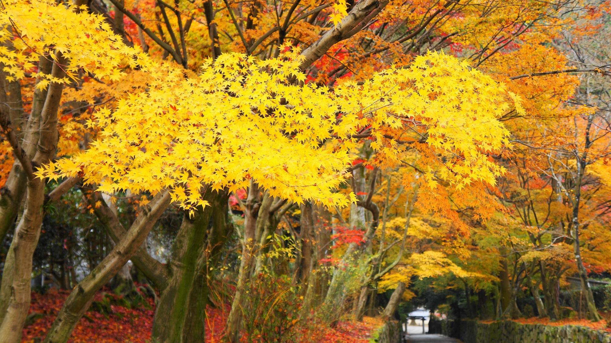 秋風に揺らめく明るい黄色の紅葉