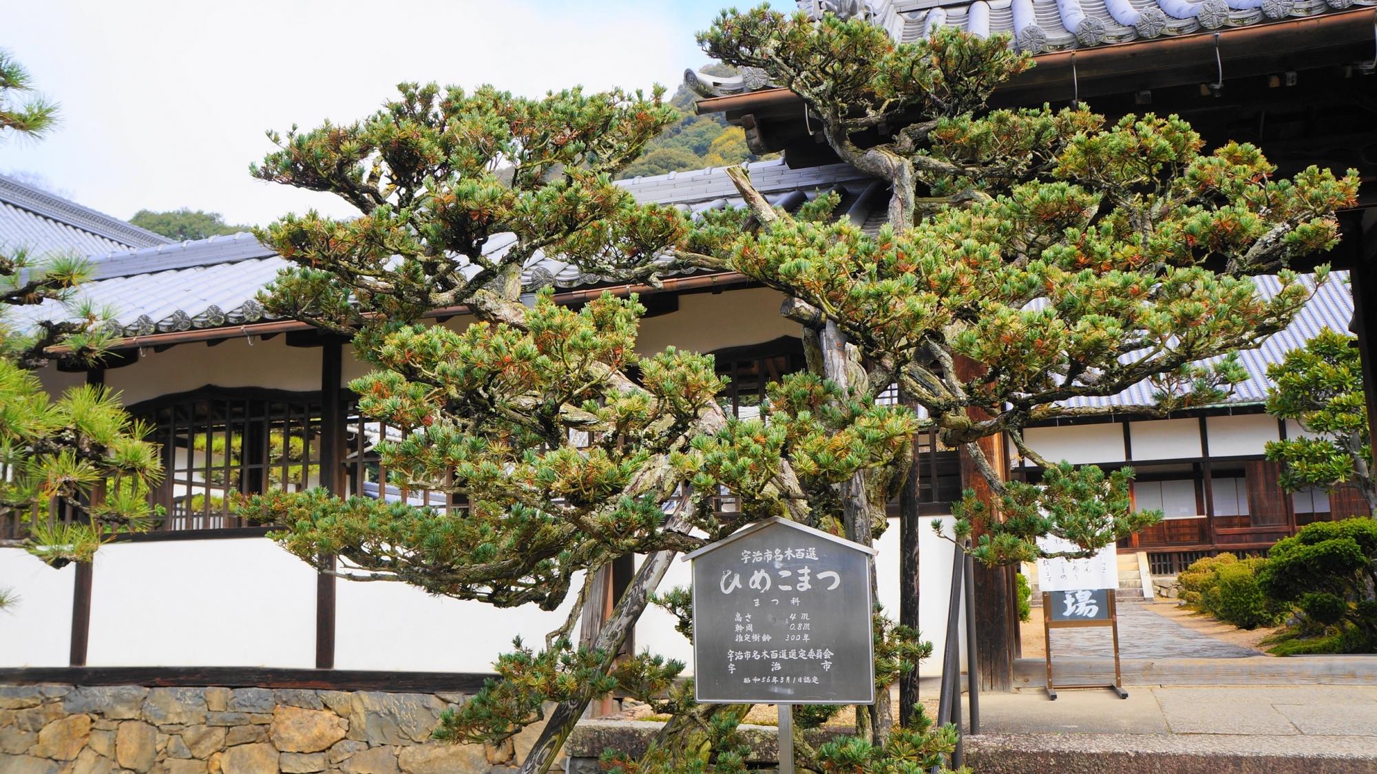 興聖寺の樹齢300年のひめこまつ