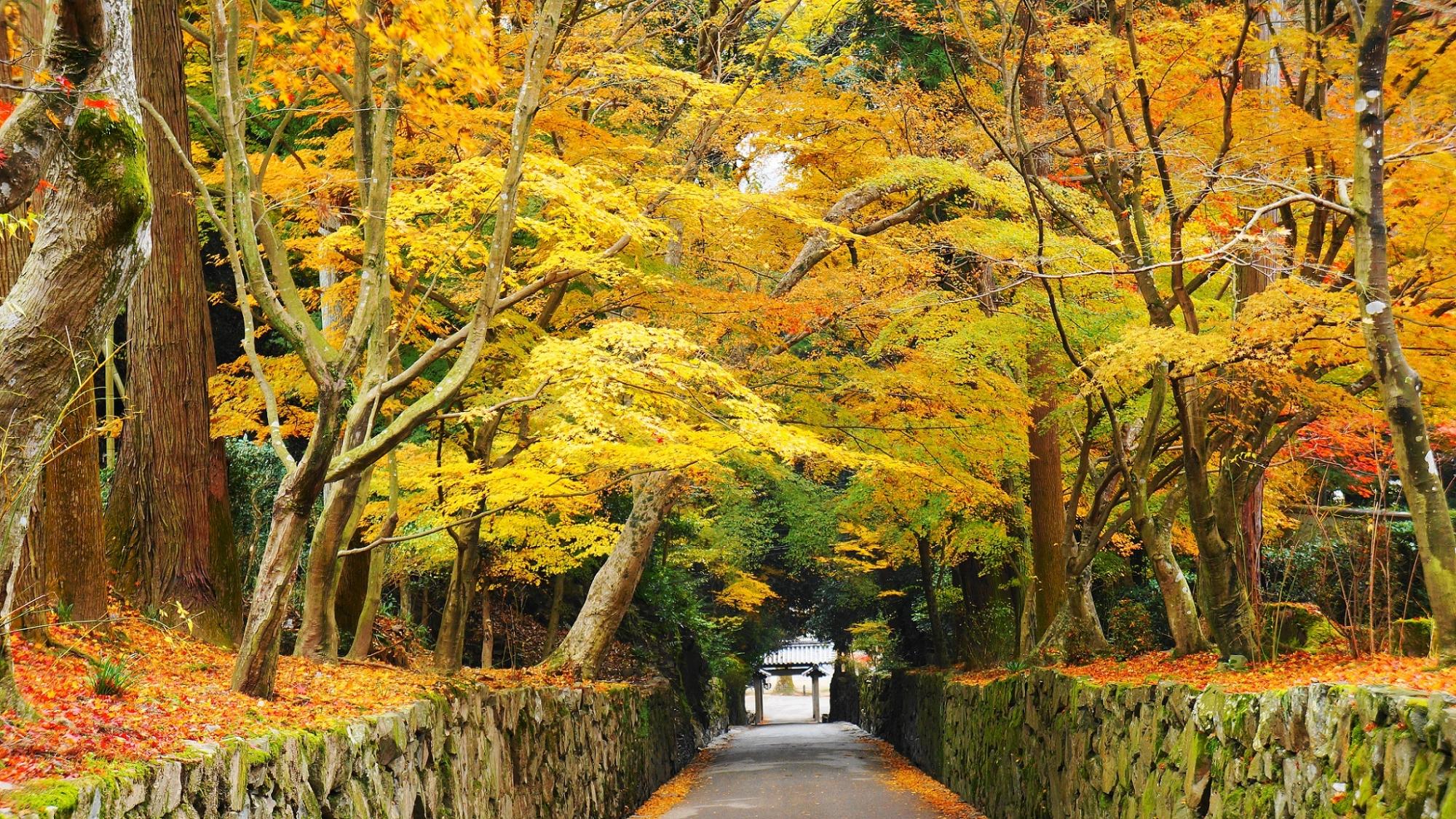 琴坂の華やかな紅葉のトンネル