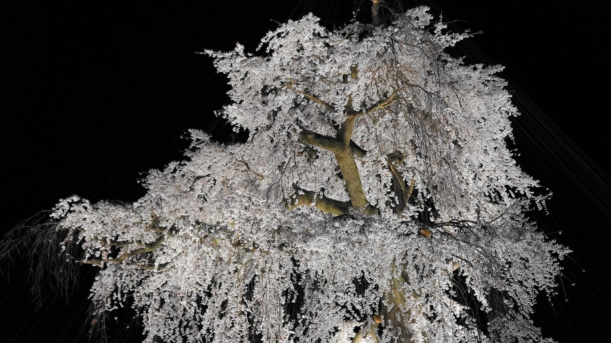 円山公園の祇園枝垂桜ライトアップ