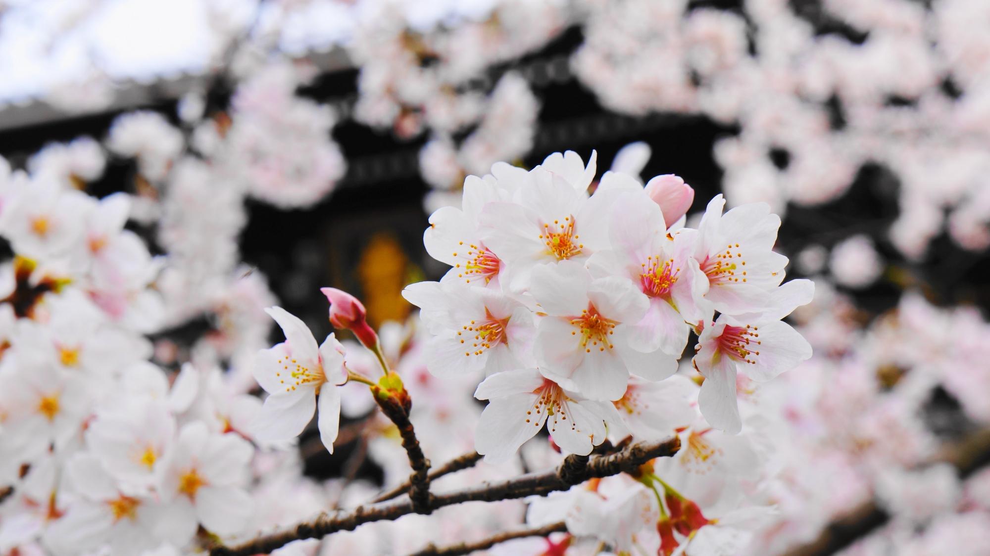 知恩院の三門と優雅な桜
