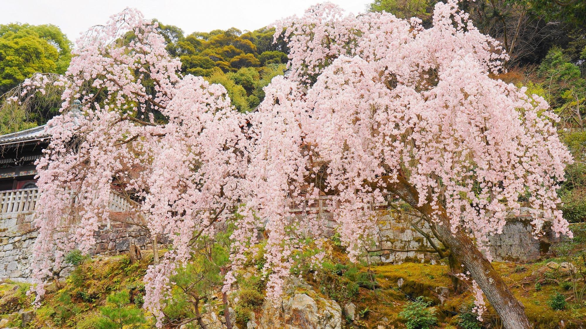 知恩院の勢至堂前の満開のしだれ桜
