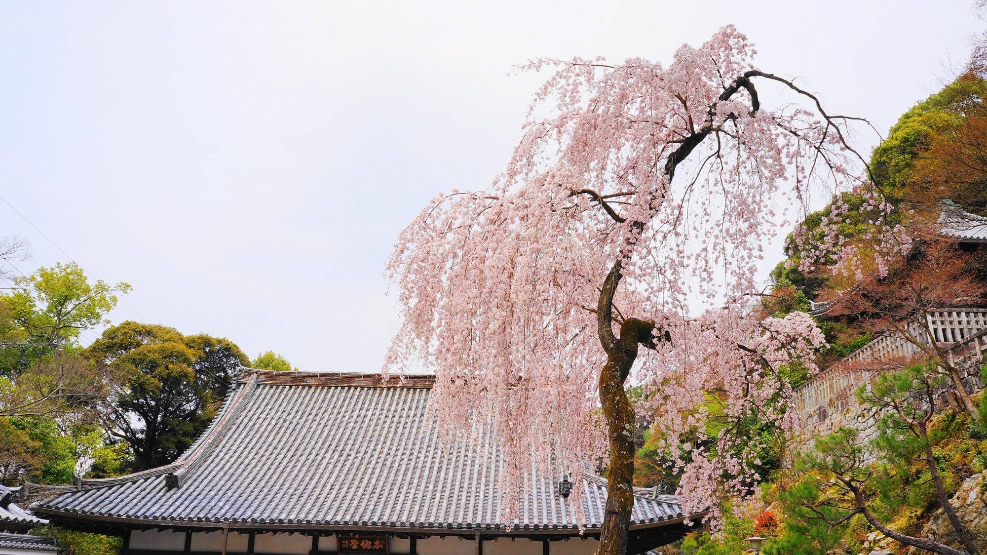 知恩院 勢至堂 御廟 しだれ桜 満開
