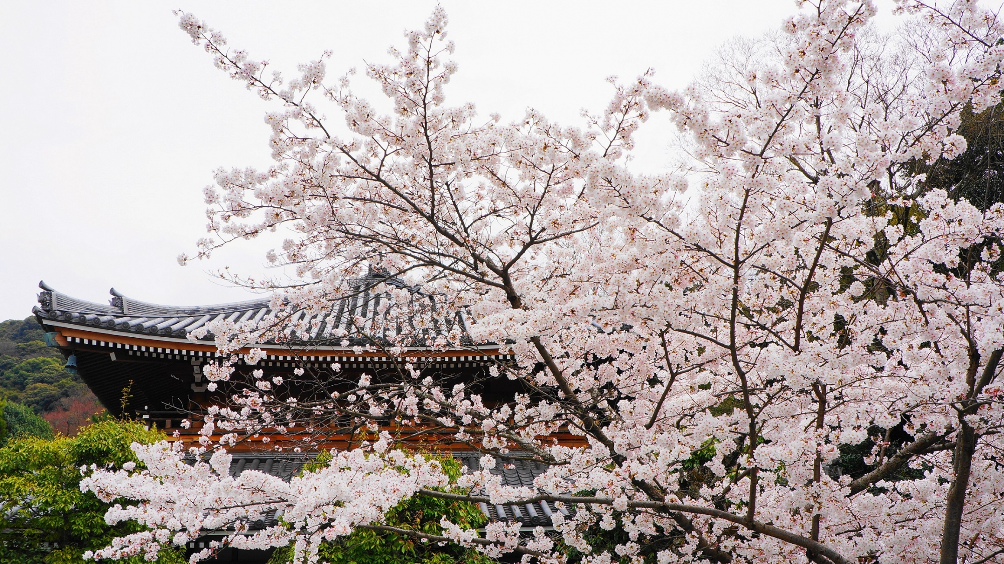 知恩院の宝佛殿と桜