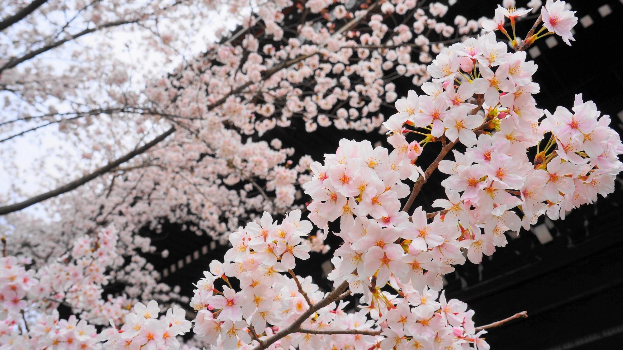 巨大な三門と華やかな桜