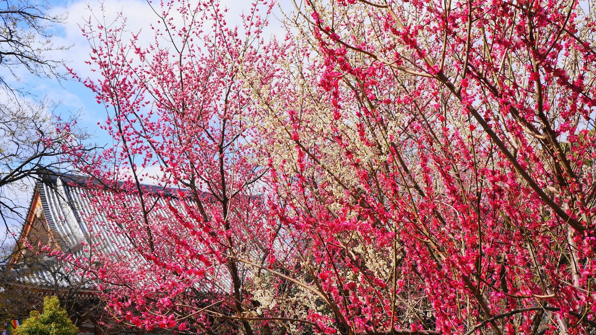 智積院 梅 豪快に乱れ咲く梅の花