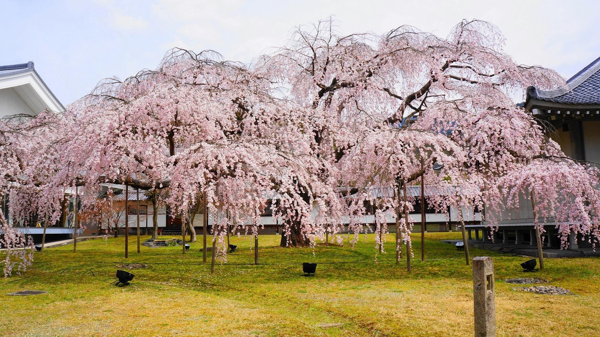 圧巻の醍醐深雪桜
