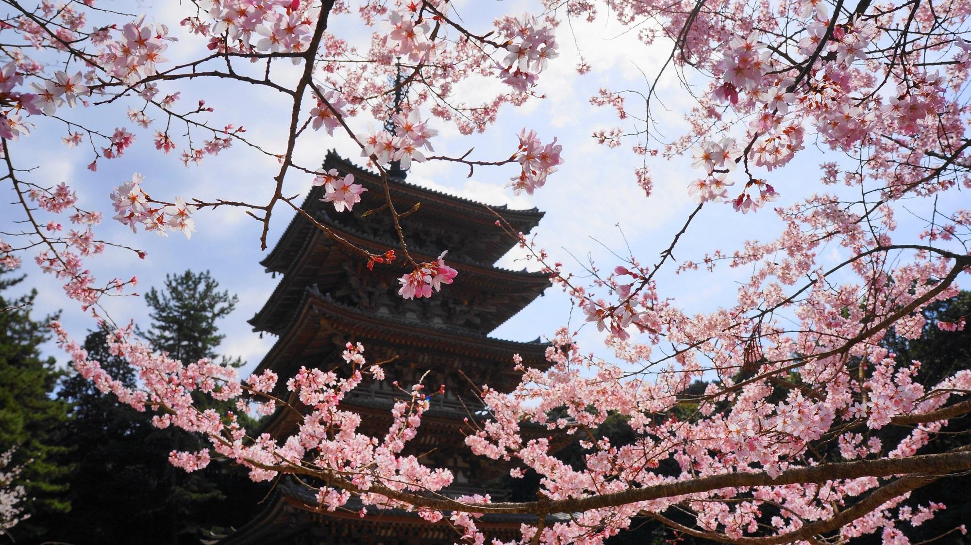 華やかで豪快な桜