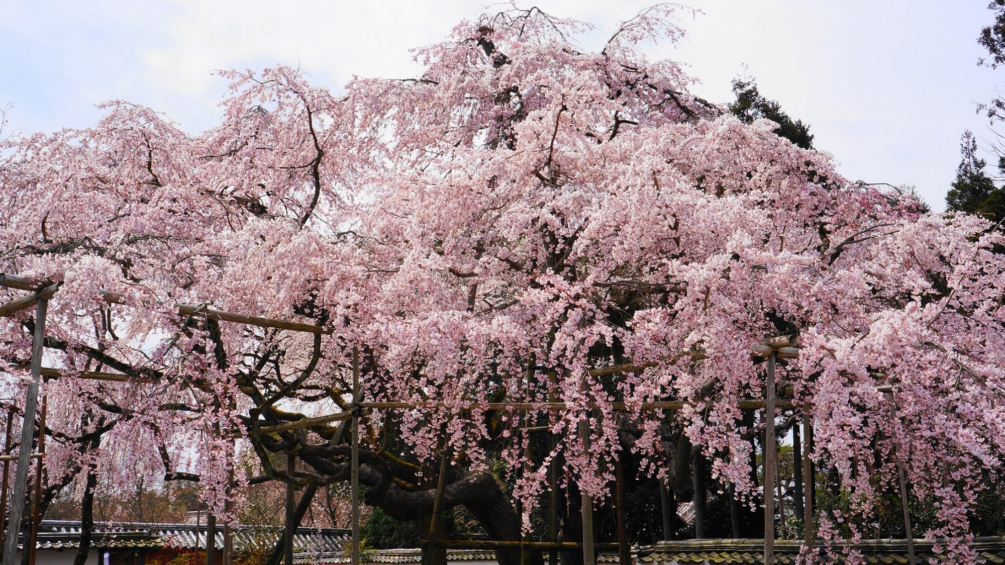 その名にふさわしい豪快な桜