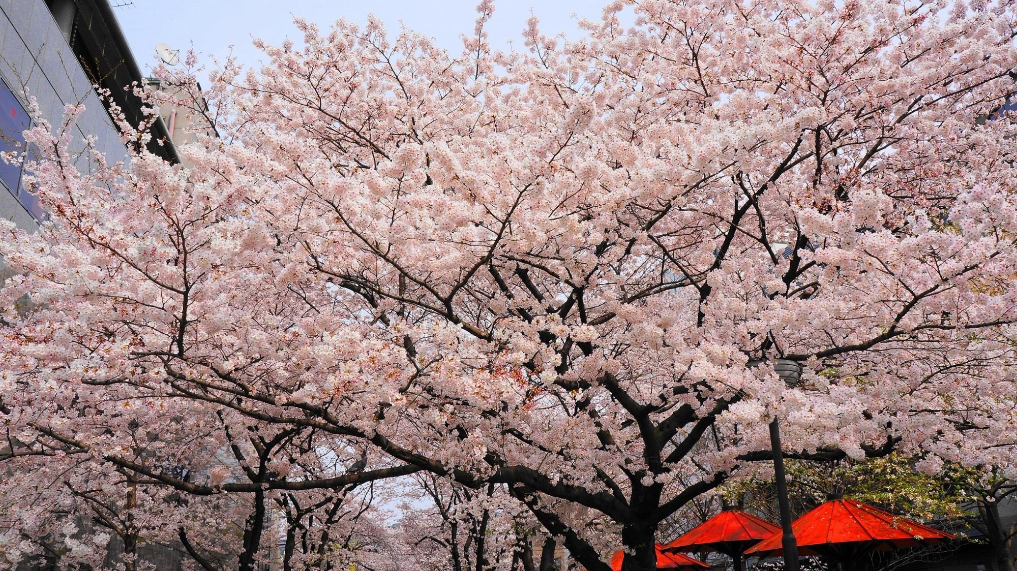 風情ある華やかな桜と柳