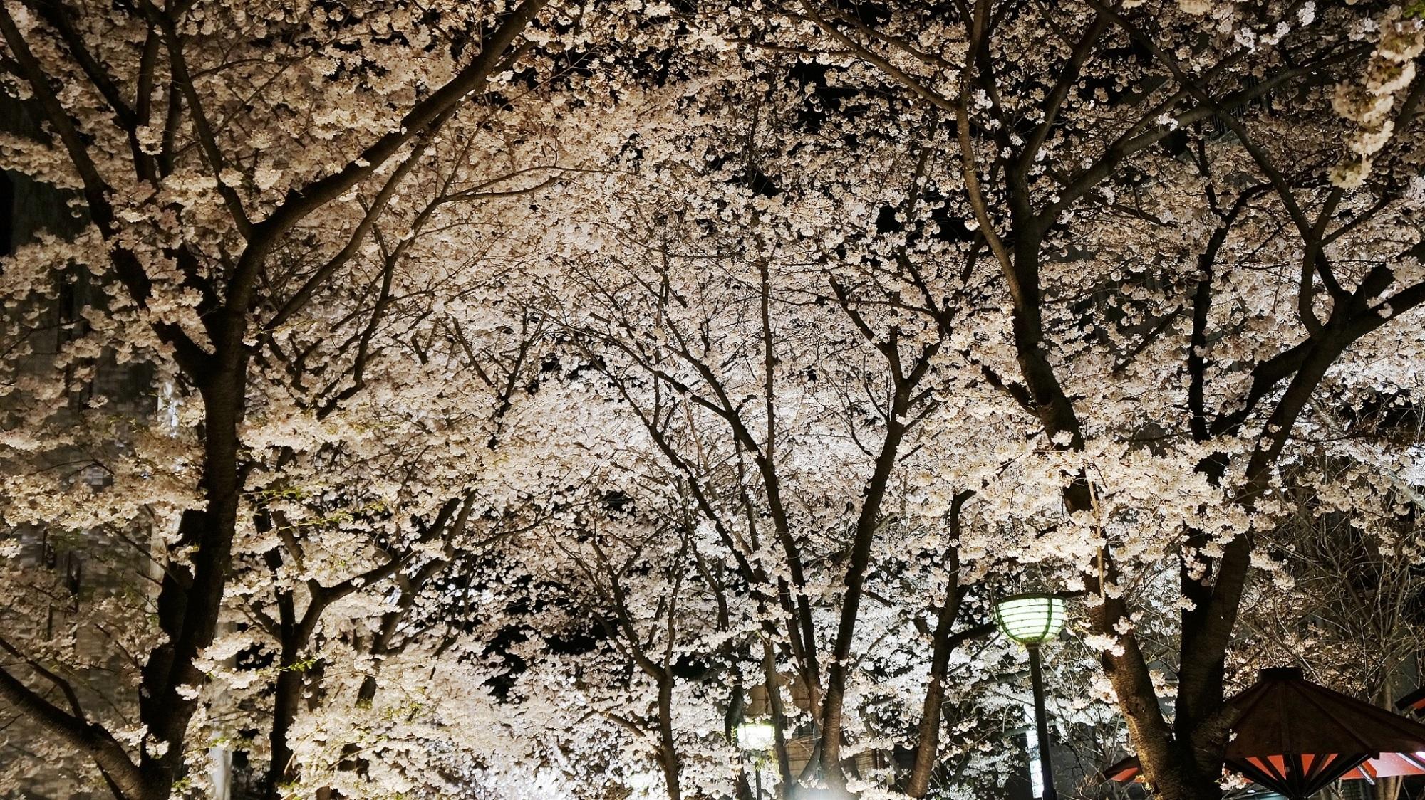 華やかな風情ある夜桜