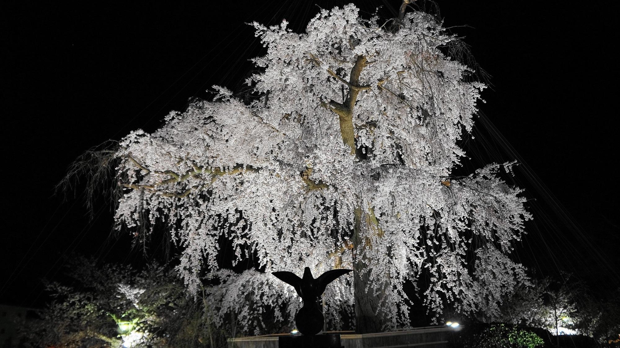 円山公園 祇園枝垂桜 ライトアップ 京都の夜空を照らす迫力の桜