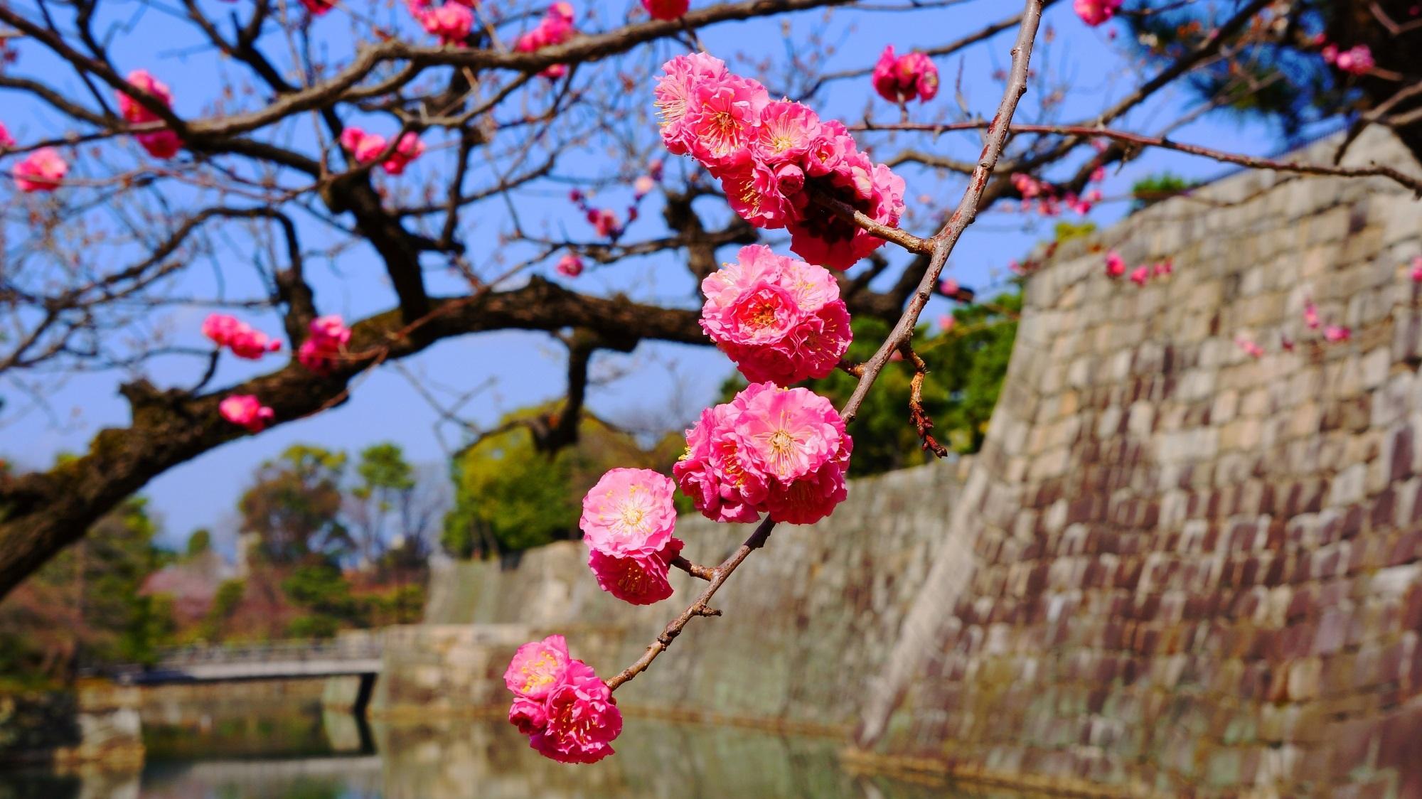 二条城 梅 芸術の梅と春先の情景
