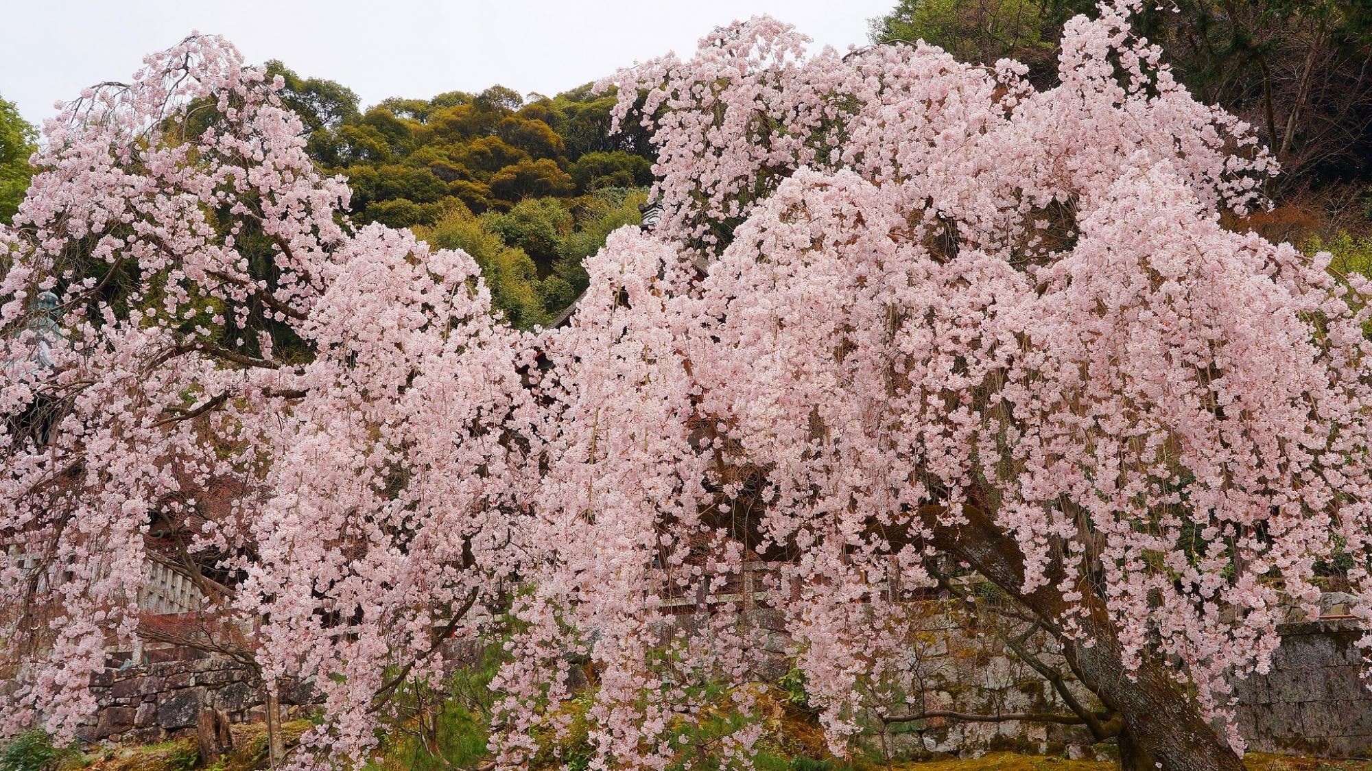 勢至堂・御廟前の満開の美しいしだれ桜