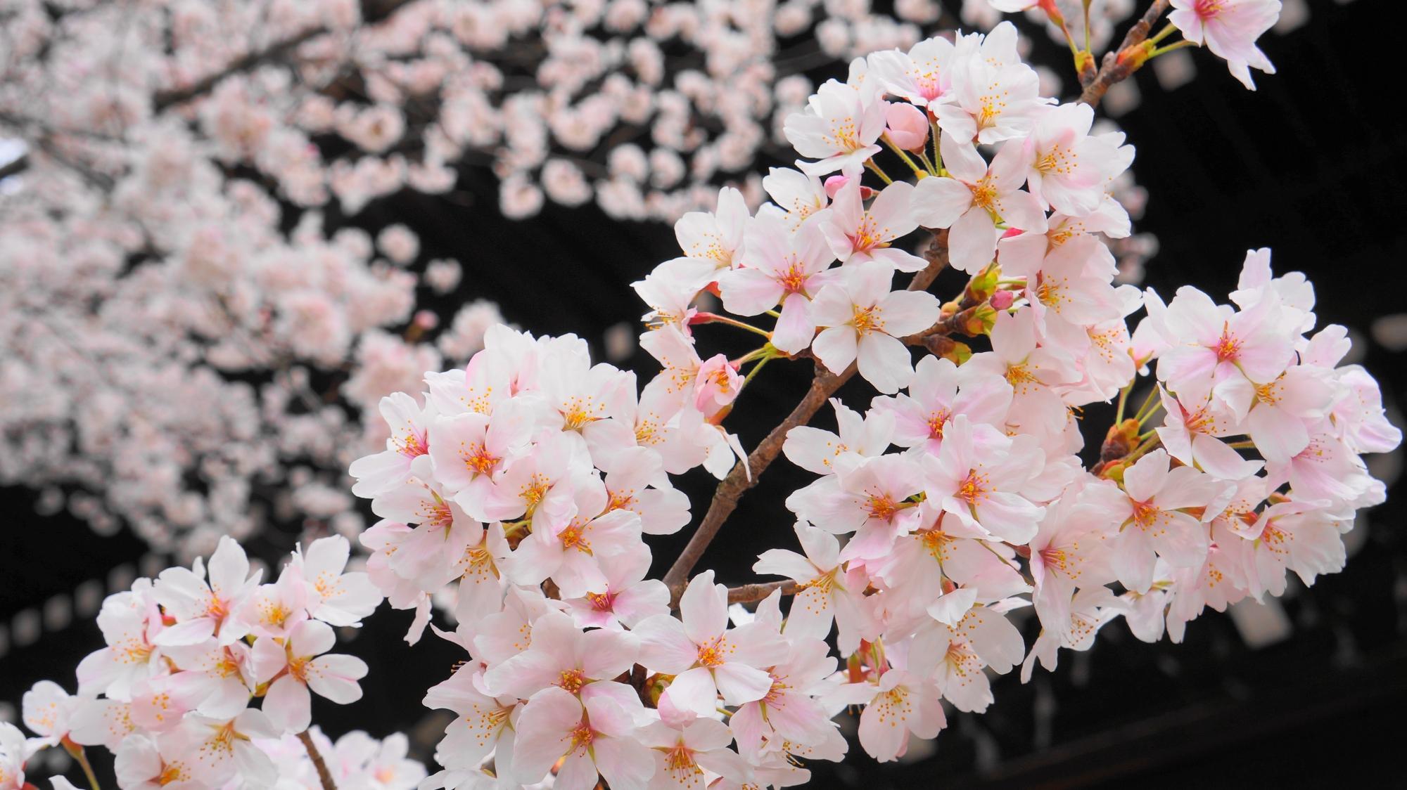 巨大な三門と綺麗な満開の桜