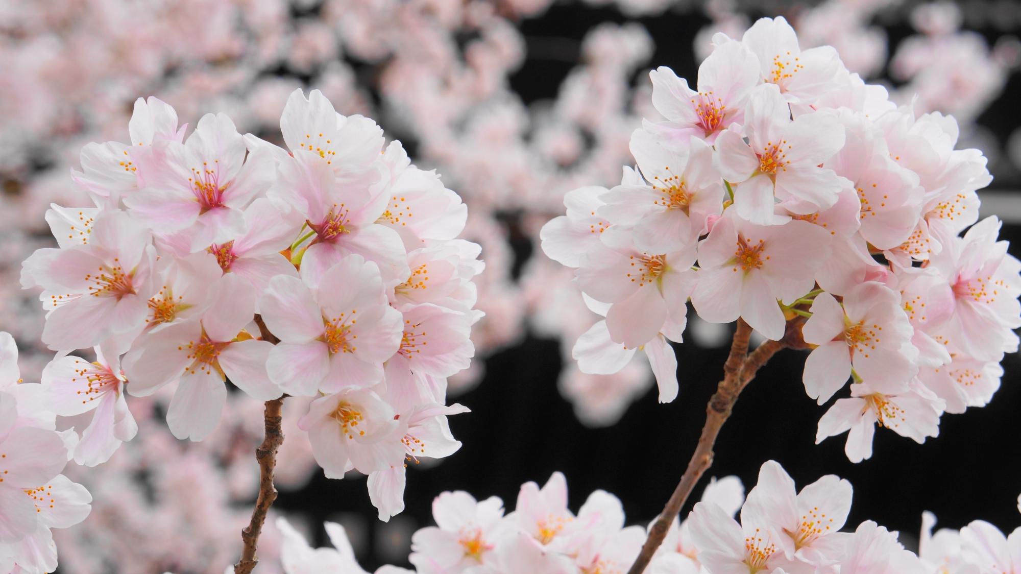三門と見ごろの桜