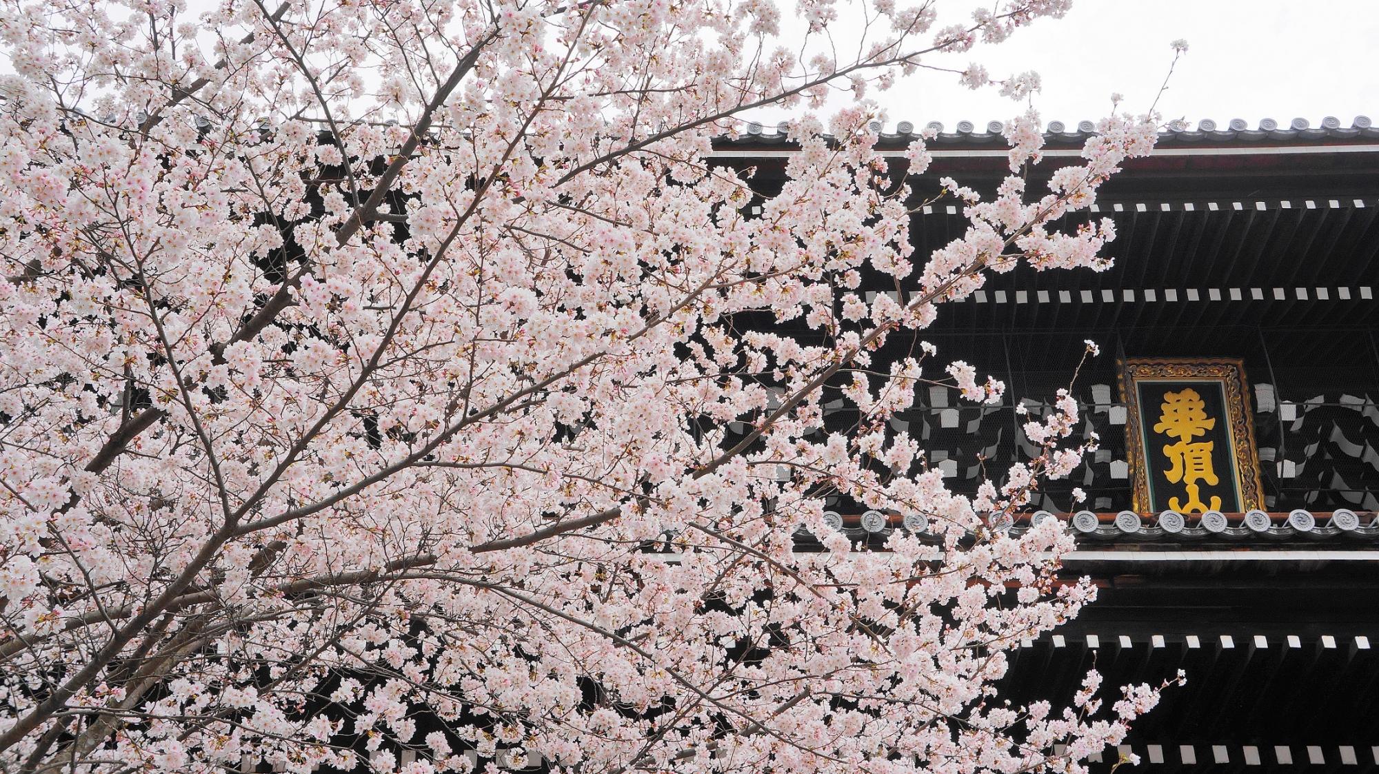京都知恩院の三門と華やかな桜