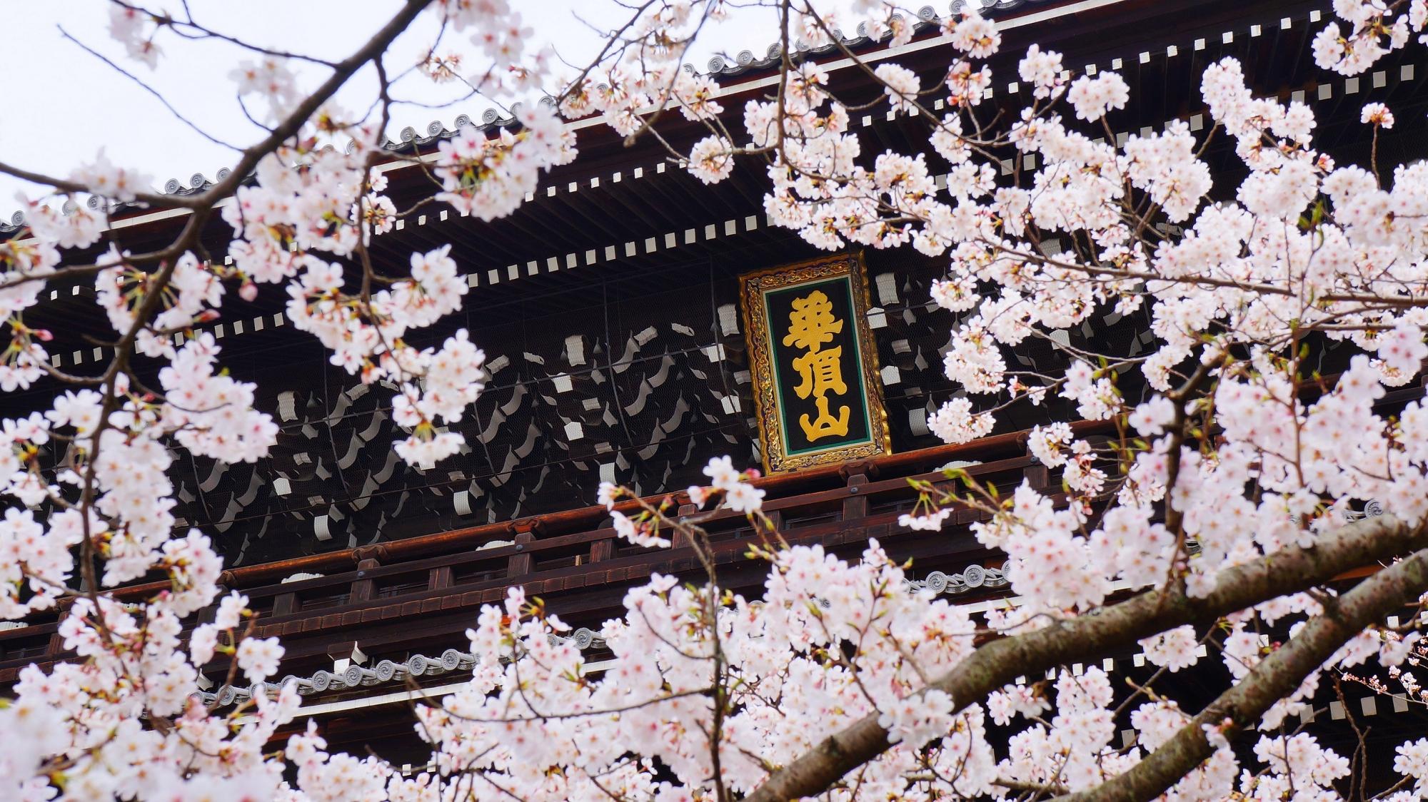 知恩院の三門とピンクの桜