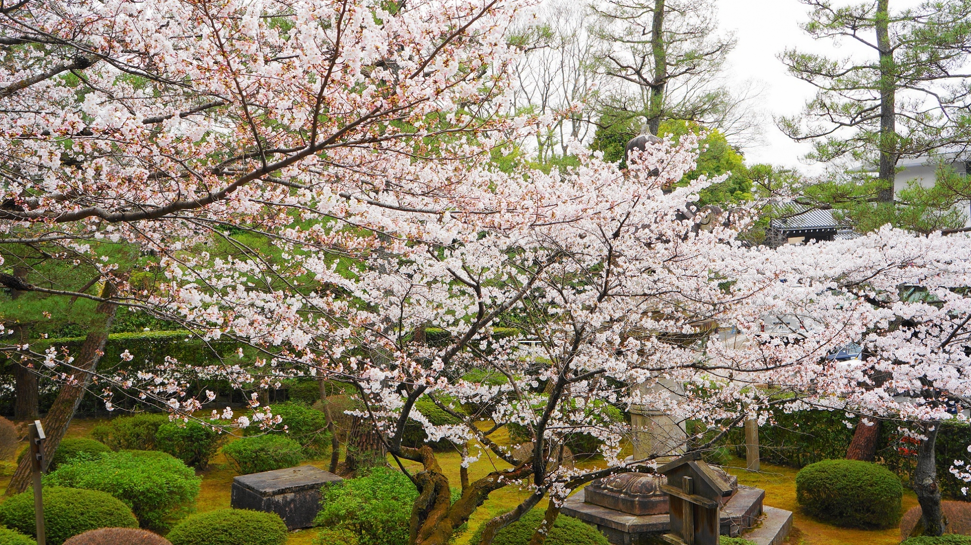 満開 桜 知恩院 三門