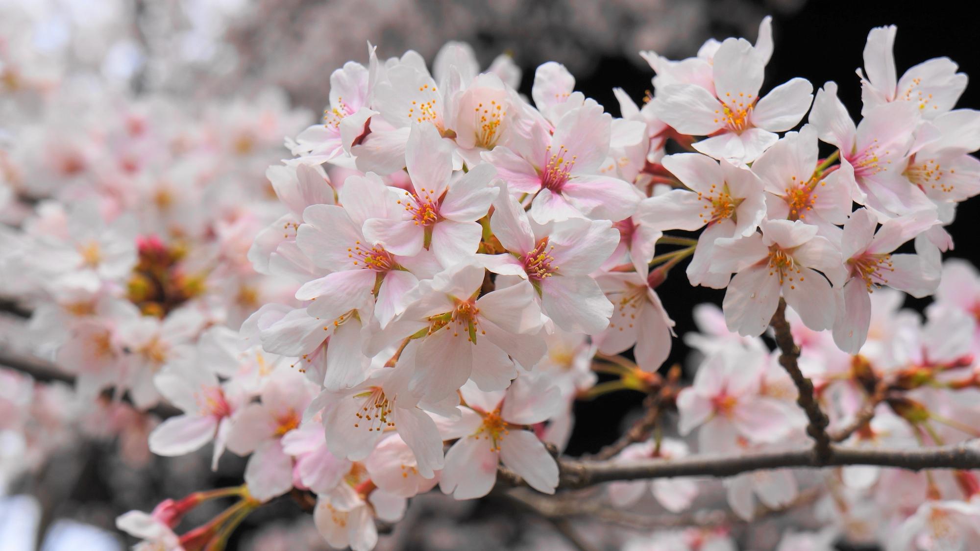 知恩院の三門と満開の桜 3月31日