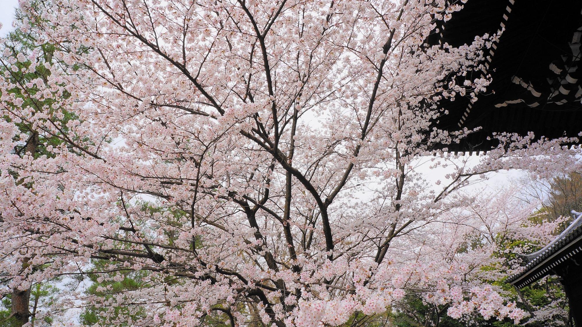 知恩院の三門と優美な桜