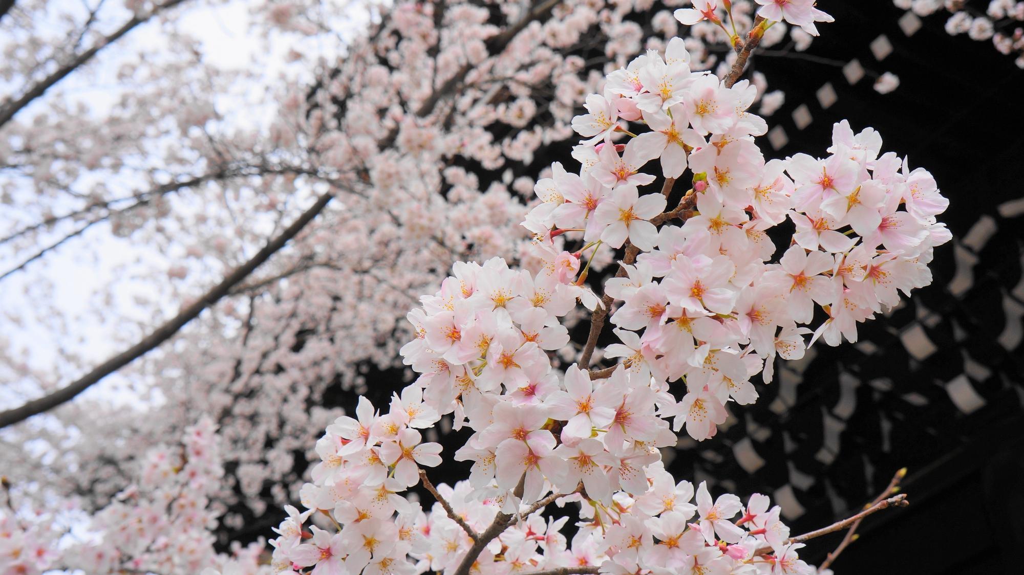 知恩院の三門と満開の桜